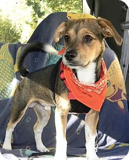 Beagle Mix Puppy for adoption in Morganton, North Carolina - Oscar