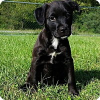 Border Collie/Labrador Retriever Mix Puppy for adoption in Columbia, Maryland - Naranja
