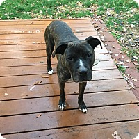 Boxer/American Staffordshire Terrier Mix Dog for adoption in Harrisville, Rhode Island - Winston