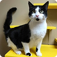 Domestic Shorthair Cat for adoption in Maryville, Missouri - Sir Fitzpatrick Jones
