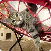 Adopt A Pet :: 388097 Falcon - San Antonio, TX