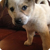 Adopt A Pet :: Saffron - Glendale, AZ