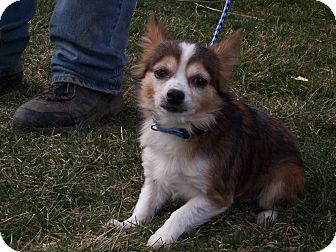 Chihuahua Mix Dog for adoption in Germantown, Maryland - Louie