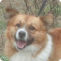 Adopt A Pet :: Ringo - Brattleboro, VT