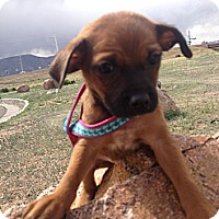 Adopt A Pet :: Pebbles - Westminster, CO