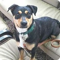 Adopt A Pet :: Apple Anny - Austin, TX