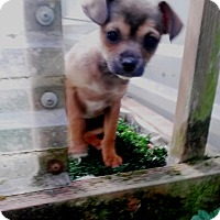 Adopt A Pet :: Truly & Treasure-Tiny Girls! - Kirkland, WA
