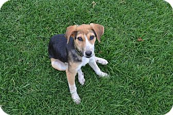 San Francisco, CA - Beagle/Foxhound Mix. Meet Thumper a ...