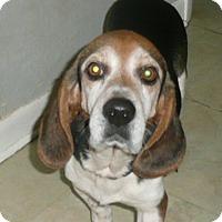 Adopt A Pet :: Benny - Palm Bay, FL