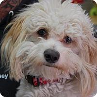 Adopt A Pet :: Owen - Brooklyn, NY