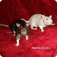 Adopt A Pet :: MINERVA and CIRCE - Philadelphia, PA