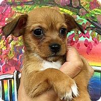 Adopt A Pet :: Paxton - Ft. Lauderdale, FL