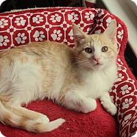 Adopt A Pet :: Marshmellow - Knoxville, TN