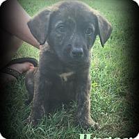 Adopt A Pet :: Harex - Denver, NC