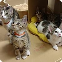 Adopt A Pet :: Norristown Seven Kittens - Colmar, PA