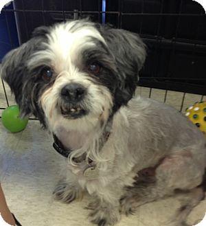 Maltese/Shih Tzu Mix Dog for adoption in Gilbert, Arizona - Eddie