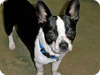 Boston Terrier/Boston Terrier Mix Puppy for adoption in Poteau, Oklahoma - BAXTER