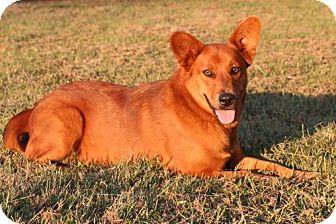 Corgi/Golden Retriever Mix Dog for adoption in Little Compton, Rhode Island - Lilah