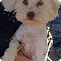 Bichon Frise Dog for adoption in Murrieta, California - Morrison