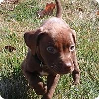 Adopt A Pet :: DingDong - St Louis, MO
