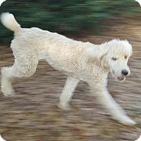 Adopt A Pet :: Cooper - Alpharetta, GA