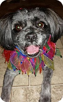 Shih Tzu Mix Dog for adoption in Columbia, Tennessee - Lola/MS
