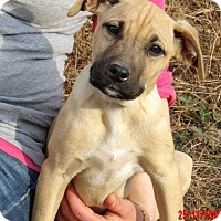 Great Dane/Shepherd (Unknown Type) Mix Puppy for adoption in West Sand Lake, New York - Teagan (14 lb) Pretty Pup!