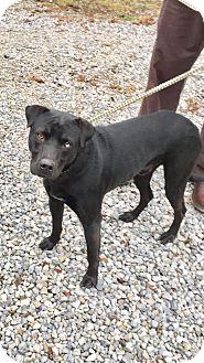 Labrador Retriever Mix Dog for adoption in Cadiz, Ohio - TRUMAN