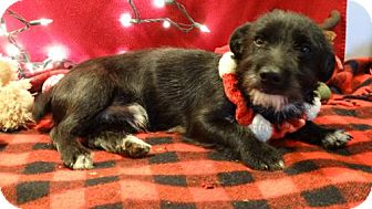 Welsh Corgi/Cairn Terrier Mix Dog for adoption in Vacaville, California - Bobby