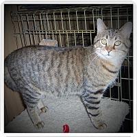 Egyptian Mau Cat for adoption in Medford, Wisconsin - BROGAN