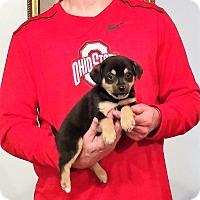 Adopt A Pet :: Cosmo - Gahanna, OH