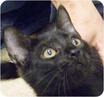 Domestic Mediumhair Kitten for adoption in Bonita Springs, Florida - Sky