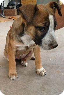 American Pit Bull Terrier/Shepherd (Unknown Type) Mix Puppy for adoption in Gilbert, Arizona - Caroline