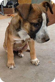 American Pit Bull Terrier/Shepherd (Unknown Type) Mix Puppy for adoption in Gilbert, Arizona - Caroline