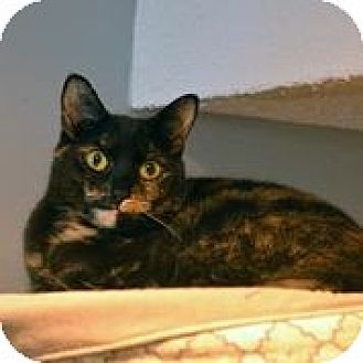 Domestic Shorthair Cat for adoption in Centreville, Virginia - Enya