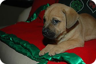 Boxer/Mastiff Mix Puppy for adoption in CHAMPAIGN, Illinois - ARETHA
