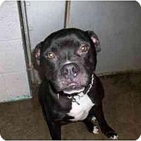 Adopt A Pet :: Niko - Albany, NY