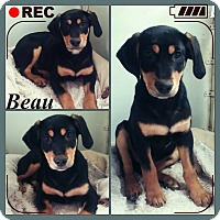 Adopt A Pet :: Beau-meet me 1/8 - East Hartford, CT