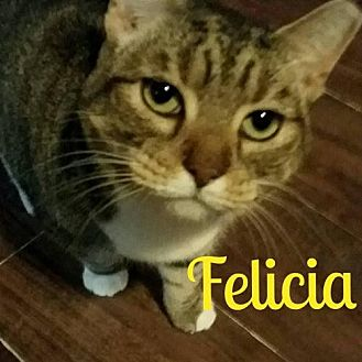 Domestic Shorthair Cat for adoption in Grand Blanc, Michigan - Felecia