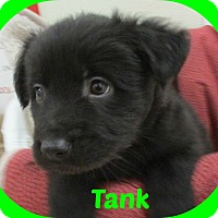 Adopt A Pet :: Tank - Clear Lake, IA