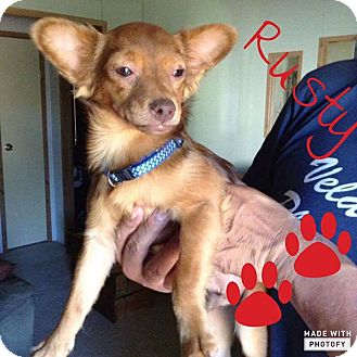 Chihuahua Mix Dog for adoption in Snyder, Texas - Rusty