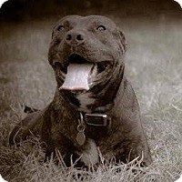 Adopt A Pet :: Abaigeal - Nashville, TN