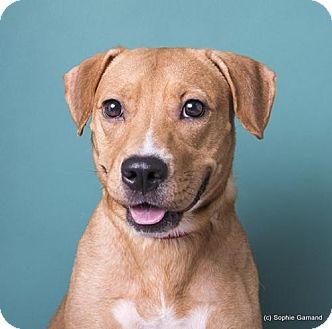 Labrador Retriever/Terrier (Unknown Type, Medium) Mix Dog for adoption in Anniston, Alabama - Audrey