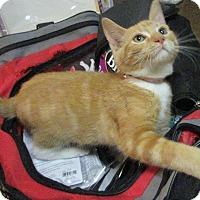 Adopt A Pet :: Little Mew - Minneapolis, MN