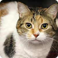 Calico Cat for adoption in Sarasota, Florida - Joannie