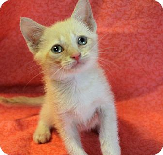 Siamese Kitten for adoption in Greensboro, North Carolina - Sammy