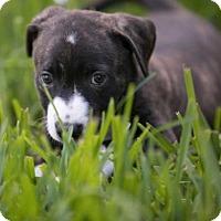 Adopt A Pet :: Mia Pup Sassy-16 - Lithia, FL