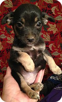 Chihuahua Puppy for adoption in Louisville, Kentucky - Zaire