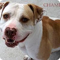 Terrier (Unknown Type, Medium) Mix Dog for adoption in Manteo, North Carolina - Champ