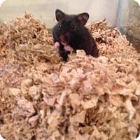 Hamster for adoption in Libertyville, Illinois - Bambi